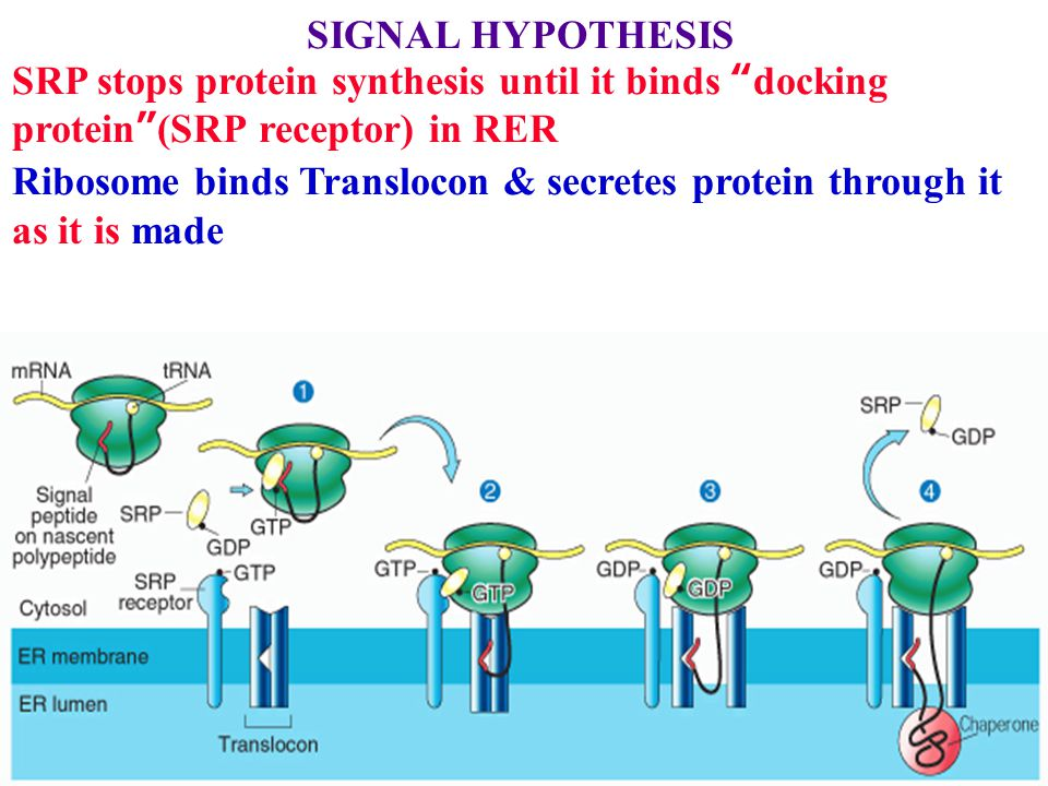 SIGNAL HYPOTHESIS SRP stops protein synthesis until it binds docking protein (SRP receptor) in RER Ribosome binds Translocon & secretes protein through it as it is made BiP (a chaperone) helps the protein fold in the lumen