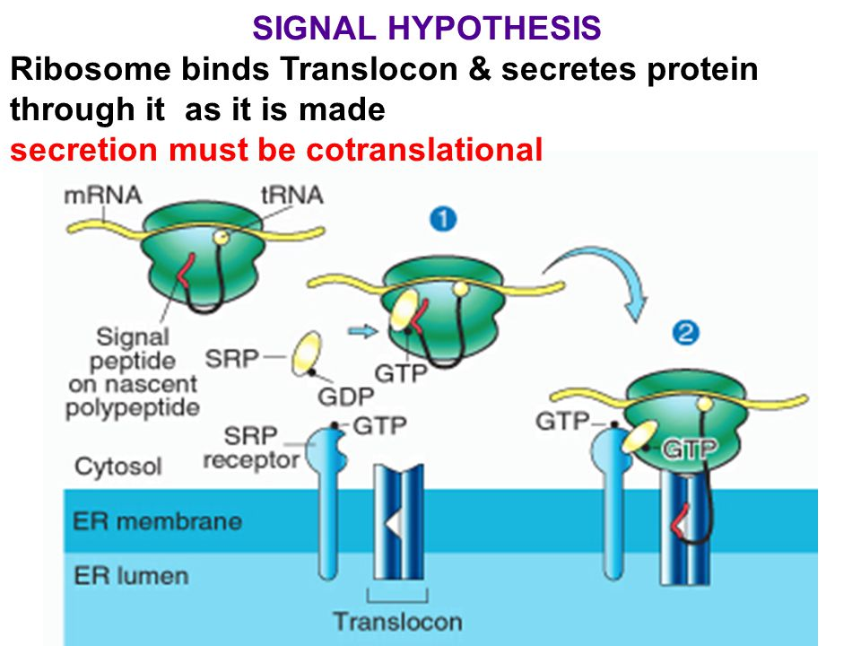Subsequent events Simplest case: 1) signal is cleaved within lumen by signal peptidase 2) BiP helps protein fold correctly 3) protein is soluble inside lumen