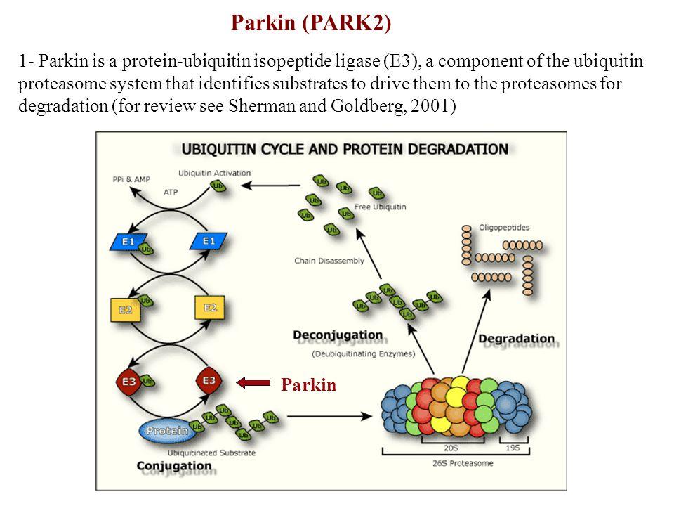Dauer & Przedborski, 2003, Neuron 39, 889-909 MPTP: mechanisms of action