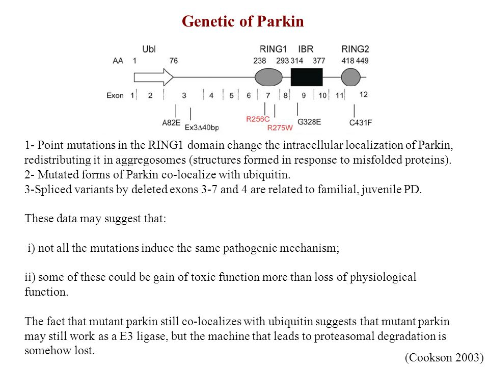 Pathogenic mechanisms of Parkin Loss of physiological function 1- Loss of E3 ligase activity that leads to accumulation of parkin substrates (synphilin 1 and cyclin E which accumulate in Lewy bodies structures, and accumulate in the brain of PD patients).