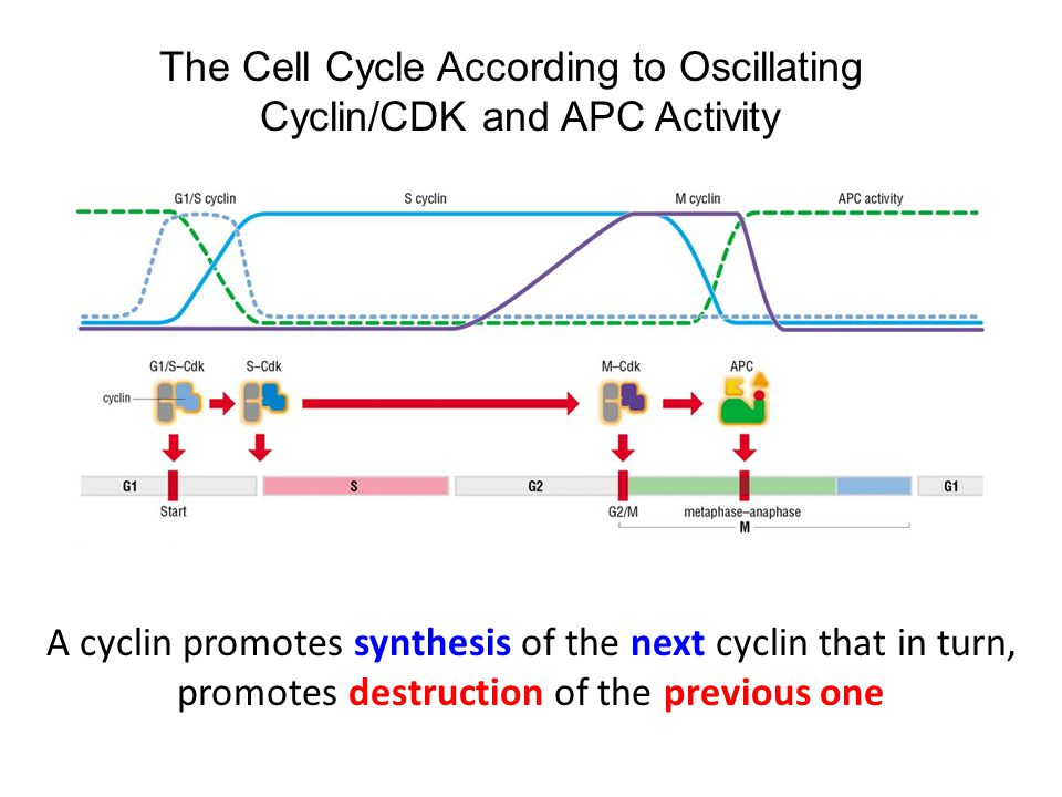 A cyclin promotes synthesis of the next cyclin that in turn, promotes destruction of the previous one The Cell Cycle According to Oscillating Cyclin/CDK and APC Activity