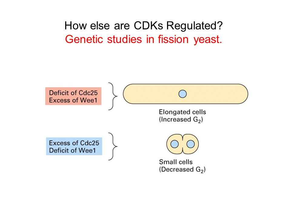 How else are CDKs Regulated Genetic studies in fission yeast.