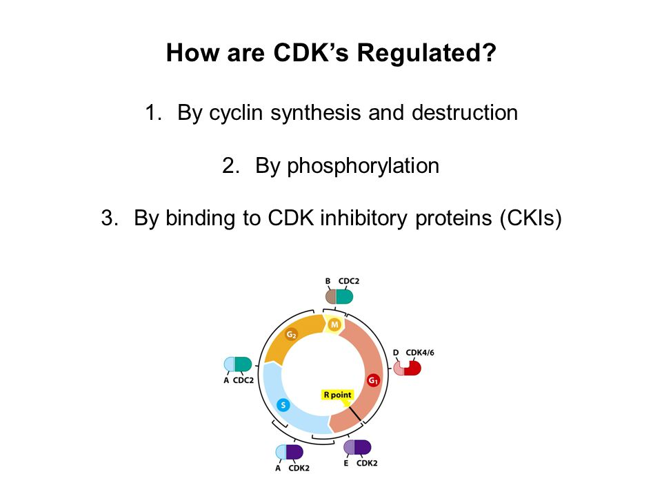 How are CDK's Regulated.