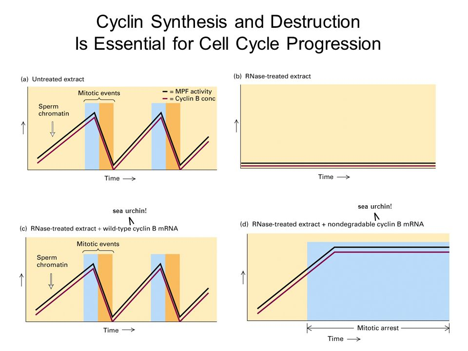 Cyclin Synthesis and Destruction Is Essential for Cell Cycle Progression sea urchin!