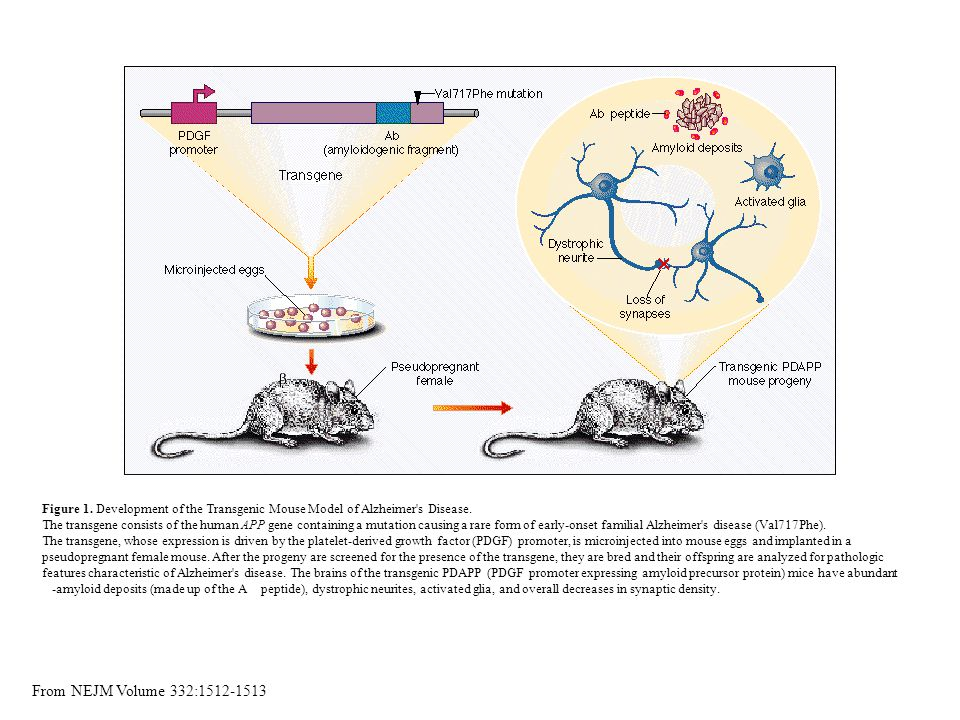 Figure 1. Development of the Transgenic Mouse Model of Alzheimer s Disease.