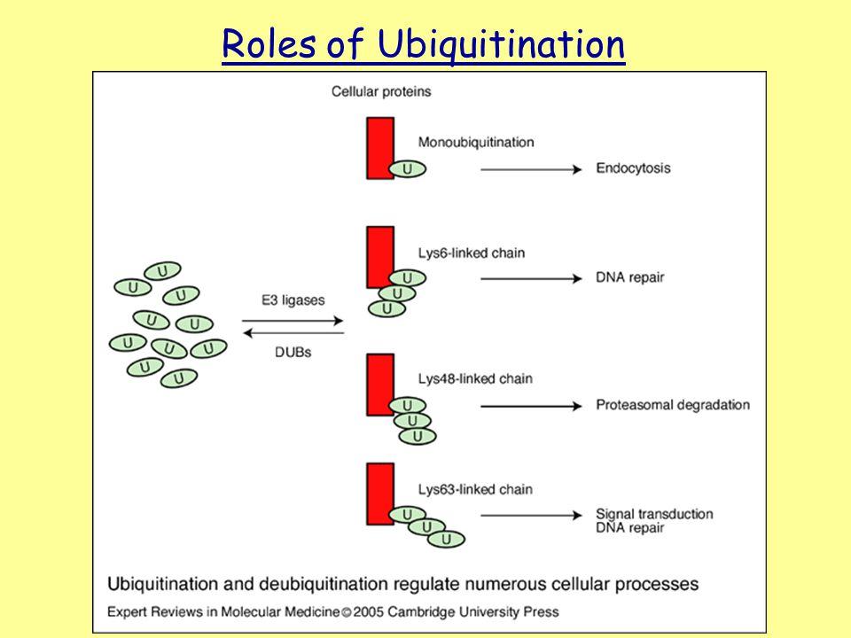 Roles of Ubiquitination