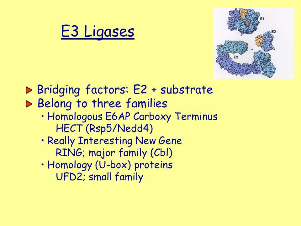 E3 Ligases Bridging factors: E2 + substrate Belong to three families Homologous E6AP Carboxy Terminus HECT (Rsp5/Nedd4) Really Interesting New Gene RI