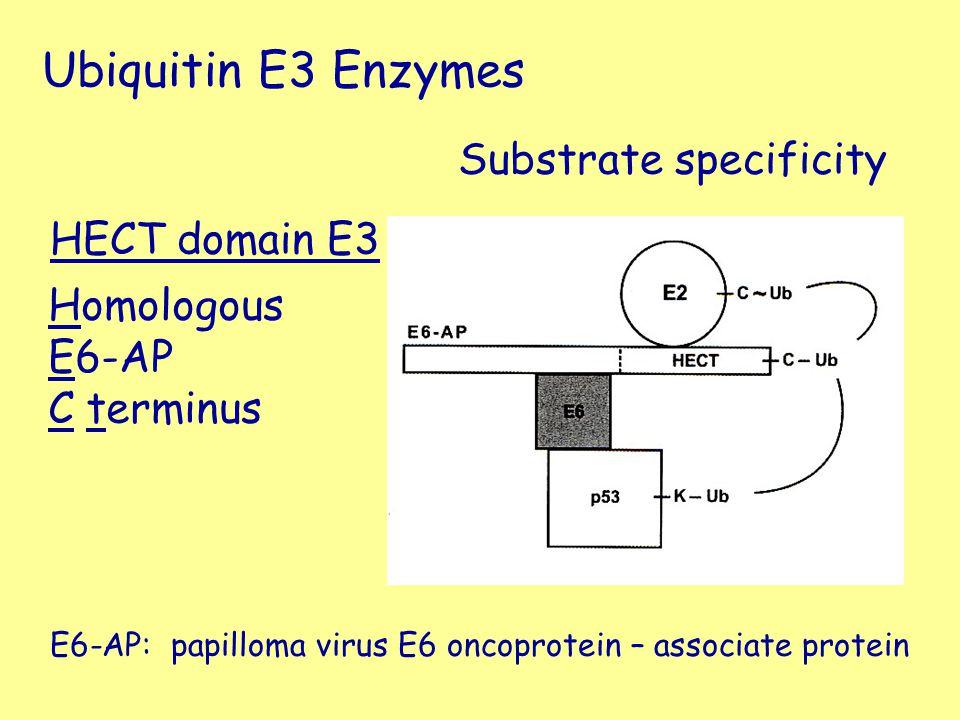 HECT domain E3 Homologous E6-AP C terminus Substrate specificity Ubiquitin E3 Enzymes E6-AP: papilloma virus E6 oncoprotein – associate protein