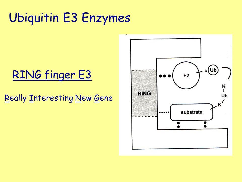 RING finger E3 Really Interesting New Gene Ubiquitin E3 Enzymes