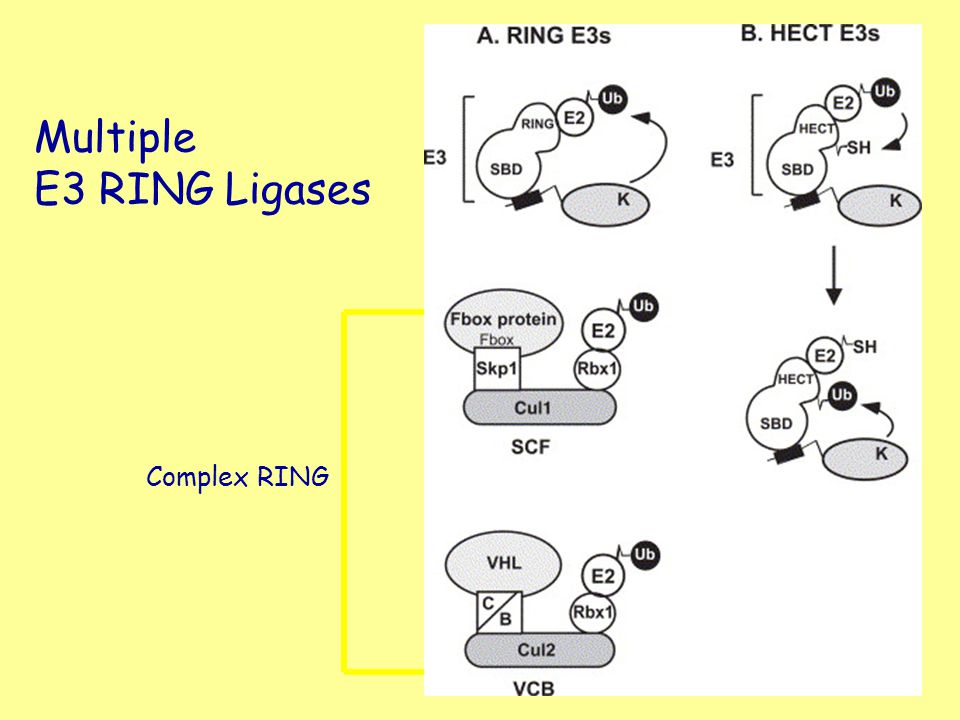 Multiple E3 RING Ligases Complex RING