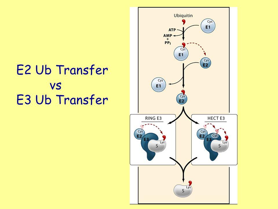 E2 Ub Transfer vs E3 Ub Transfer