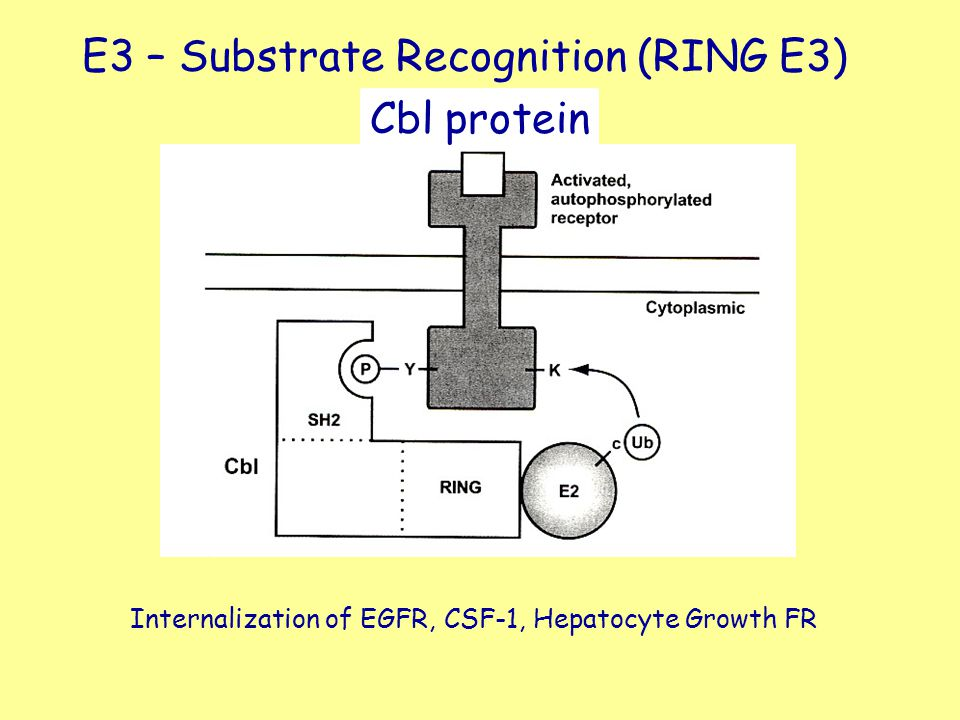 E3 – Substrate Recognition (RING E3) Cbl protein Internalization of EGFR, CSF-1, Hepatocyte Growth FR
