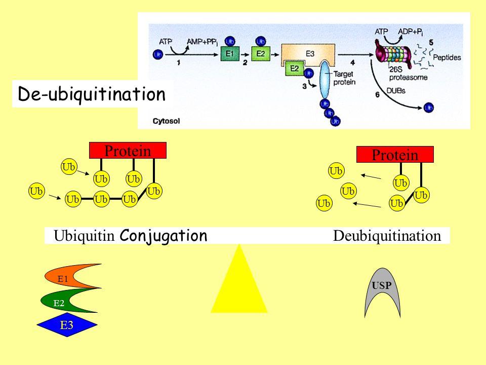 Ubiquitin Conjugation Deubiquitination Ub Protein Ub Protein Ub USP E1 E2 E3 De-ubiquitination