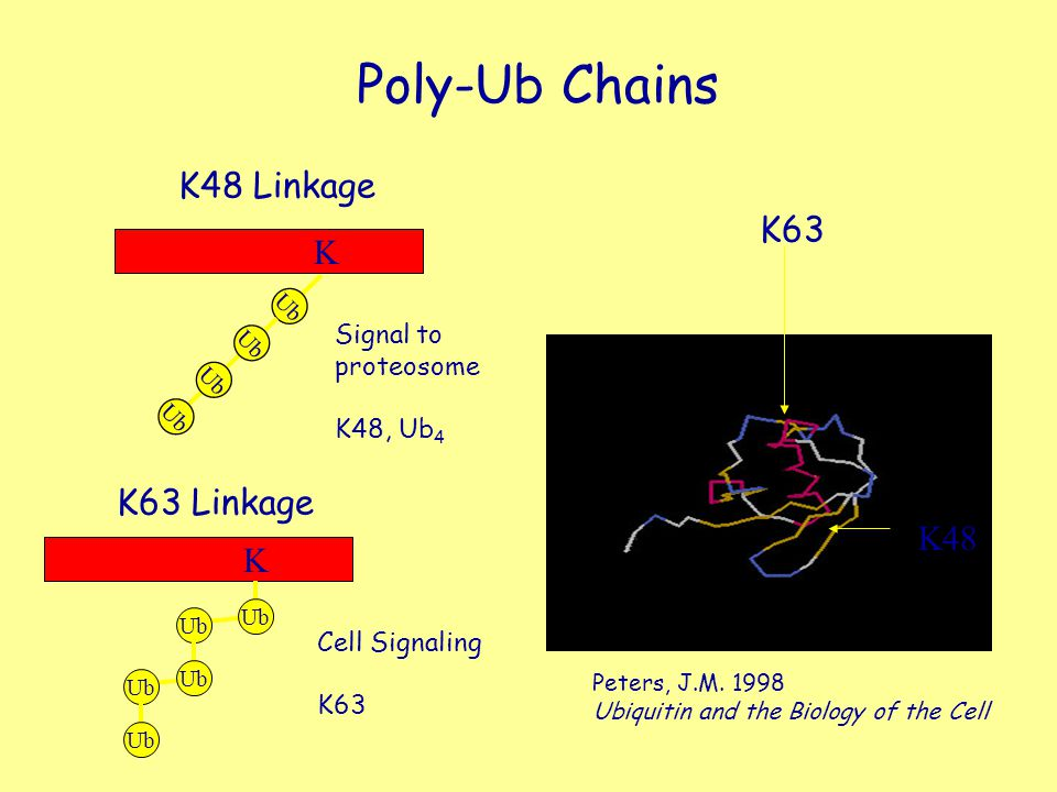 Poly-Ub Chains Ub K K K48 Linkage K63 Linkage K63 K48 Peters, J.M. 1998 Ubiquitin and the Biology of the Cell Signal to proteosome K48, Ub 4 Cell Sign