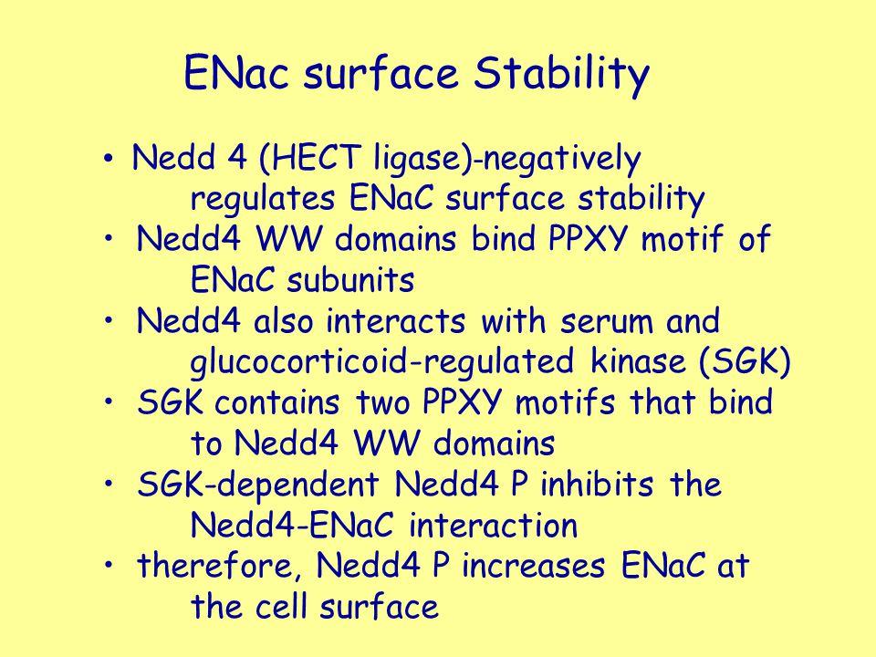 ENac surface Stability Nedd 4 (HECT ligase) - negatively regulates ENaC surface stability Nedd4 WW domains bind PPXY motif of ENaC subunits Nedd4 also