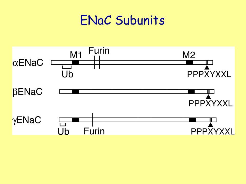 ENaC Subunits