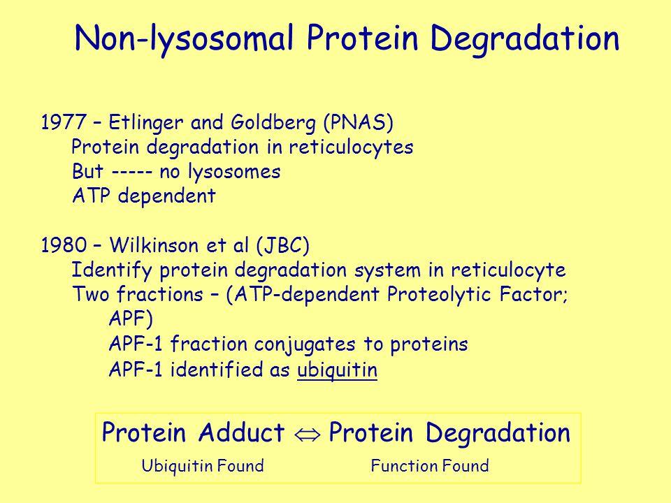 Non-lysosomal Protein Degradation 1977 – Etlinger and Goldberg (PNAS) Protein degradation in reticulocytes But ----- no lysosomes ATP dependent 1980 –