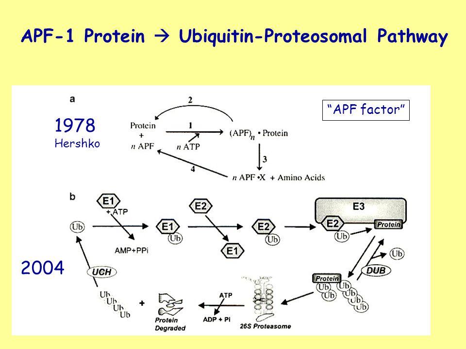 "APF-1 Protein  Ubiquitin-Proteosomal Pathway 1978 Hershko ""APF factor"" 2004"