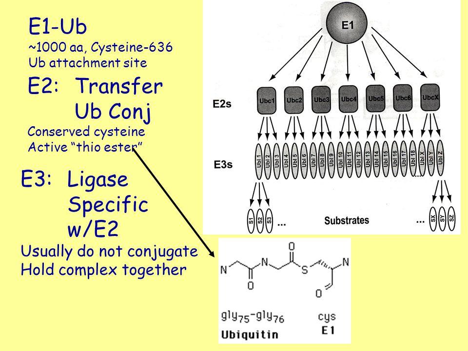 "E1-Ub ~1000 aa, Cysteine-636 Ub attachment site E2:Transfer Ub Conj Conserved cysteine Active ""thio ester"" E3:Ligase Specific w/E2 Usually do not conj"