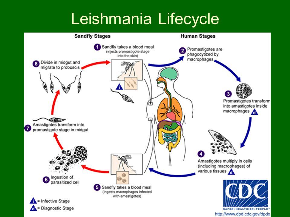 Leishmania Lifecycle