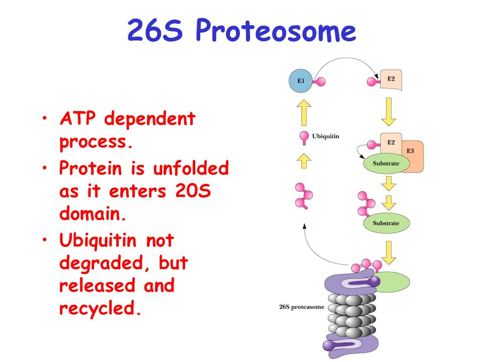 26S Proteosome ATP dependent process. Protein is unfolded as it enters 20S domain. Ubiquitin not degraded, but released and recycled.