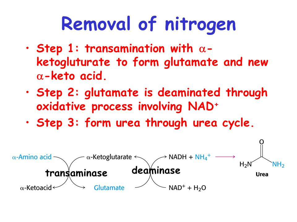 Removal of nitrogen Step 1: transamination with  - ketogluturate to form glutamate and new  -keto acid. Step 2: glutamate is deaminated through oxid