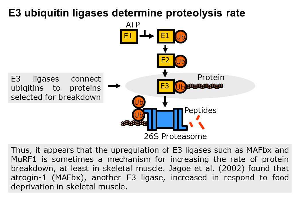 E3 ubiquitin ligases determine proteolysis rate Thus, it appears that the upregulation of E3 ligases such as MAFbx and MuRF1 is sometimes a mechanism
