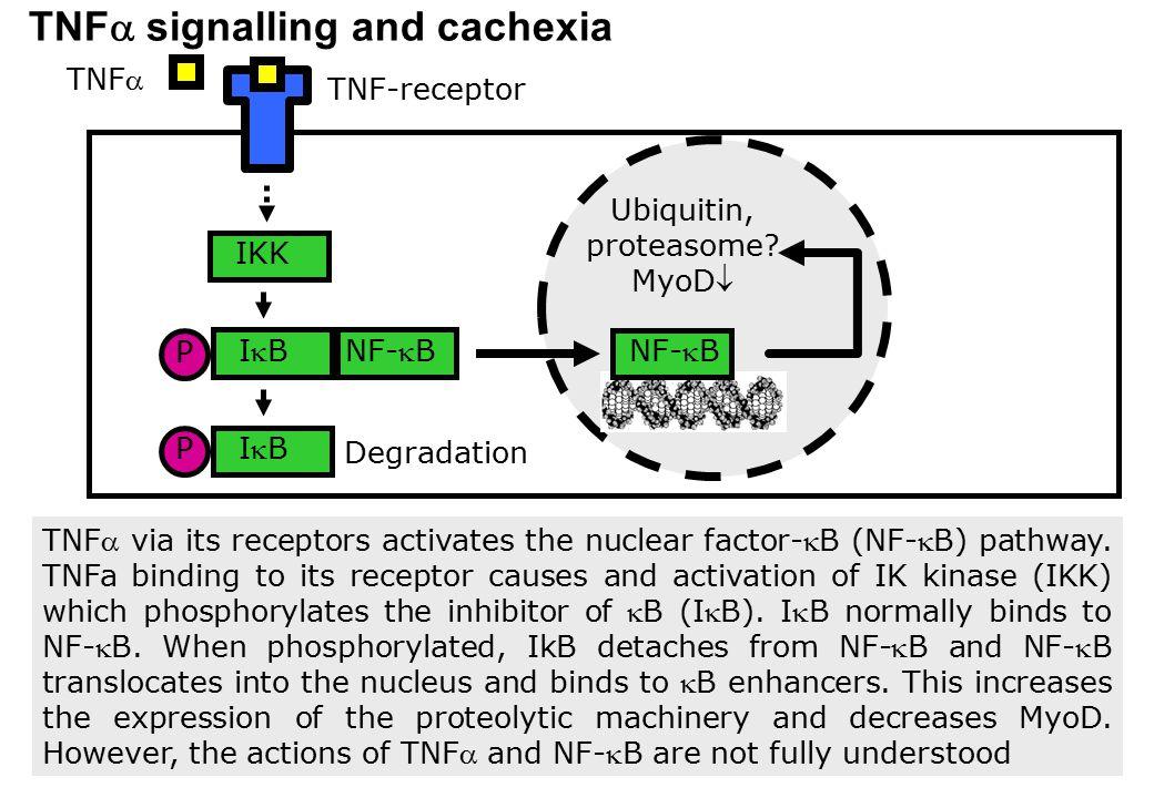 IBIB NF-B TNF  signalling and cachexia IBIB IKK Degradation TNF Ubiquitin, proteasome? MyoD P NF-B TNF-receptor TNF via its receptors activa