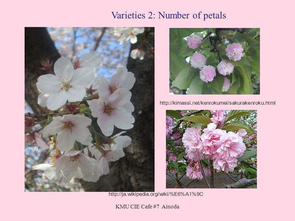 KMU CIE Cafe #7 Ainoda http://ja.wikipedia.org/wiki/%E6%A1%9C http://kimassi.net/kenrokumei/sakurakenroku.html Varieties 2: Number of petals