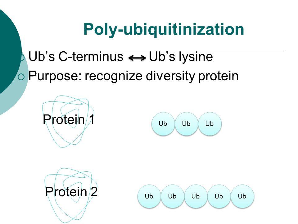 Poly-ubiquitinization  Ub's C-terminus Ub's lysine  Purpose: recognize diversity protein Protein 1 Protein 2 Ub