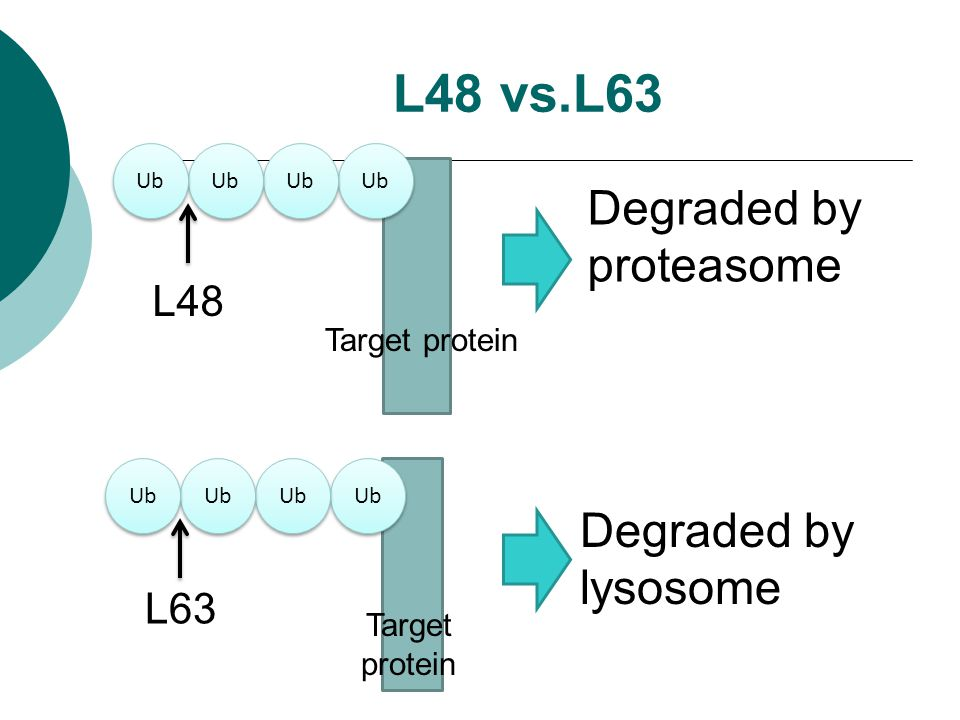 Target protein L48 vs.L63 Ub L48 L63 Degraded by proteasome Degraded by lysosome