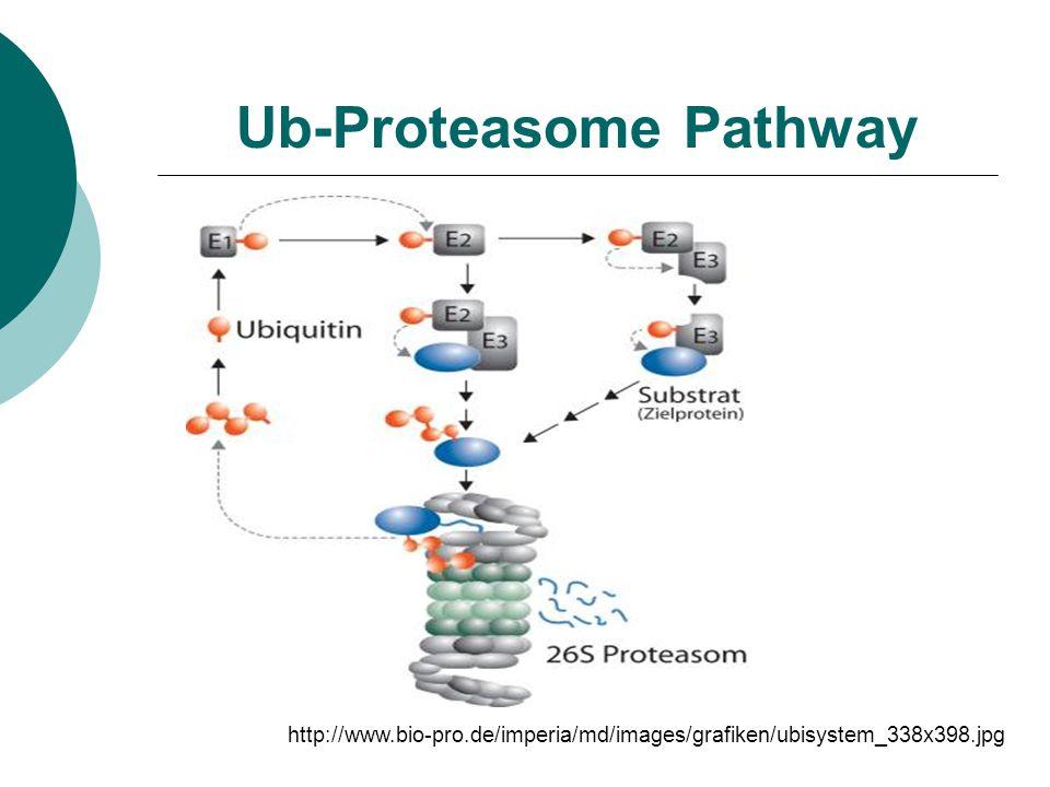 Ub-Proteasome Pathway http://www.bio-pro.de/imperia/md/images/grafiken/ubisystem_338x398.jpg