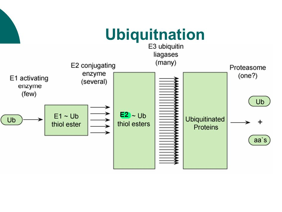 Ubiquitnation  Remarkable features The specificity of protein tagging is mainly determined by E2, E3  steps E1:Ub-activating enzyme E2:Ub-conjugating enzyme E3:Ub-ligase E2