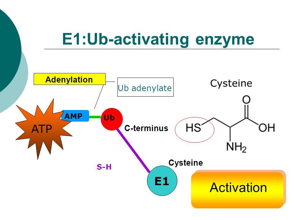 E1:Ub-activating enzyme E1 AMP Ub S-H ATP Ub adenylate Cysteine Adenylation C-terminus Cysteine Activation