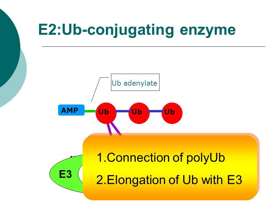 E2:Ub-conjugating enzyme E2 AMP Ub adenylate Ub E1 S-HNew E3 1.Connection of polyUb 2.Elongation of Ub with E3