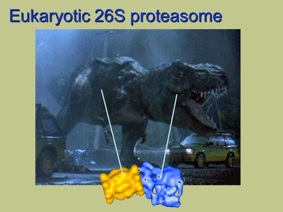 Eukaryotic 26S proteasome