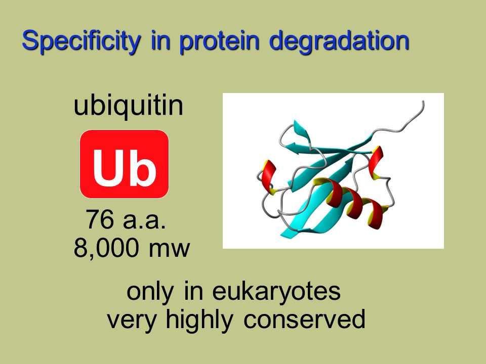 Specificity in protein degradation Ub ubiquitin 76 a.a. 8,000 mw only in eukaryotes very highly conserved