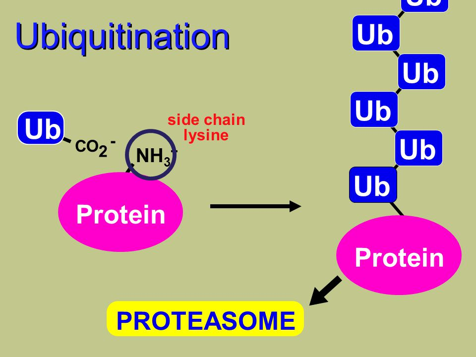 CO 2 - Ub NH 3 + Protein PROTEASOME Ubiquitination side chain lysine Ub Protein