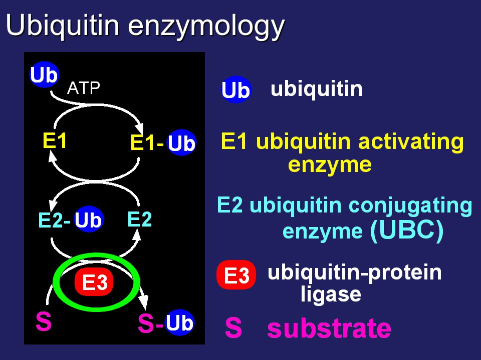 Ubiquitin enzymology