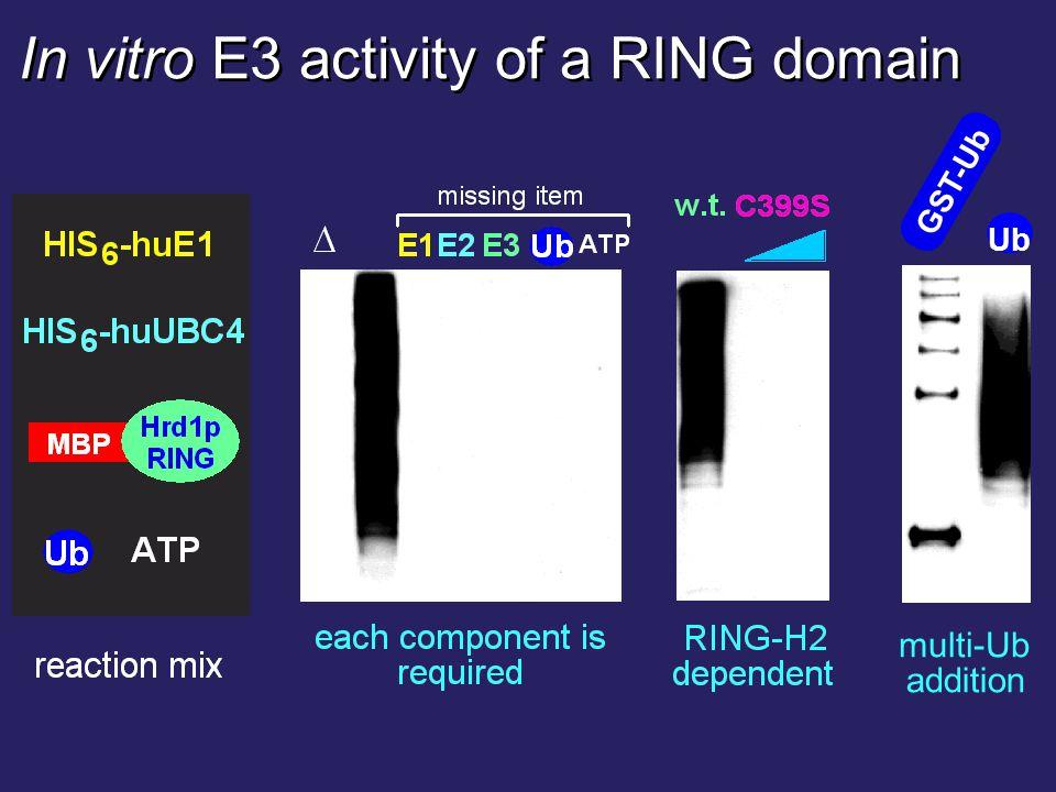 Ub GST-Ub multi-Ub addition In vitro E3 activity of a RING domain