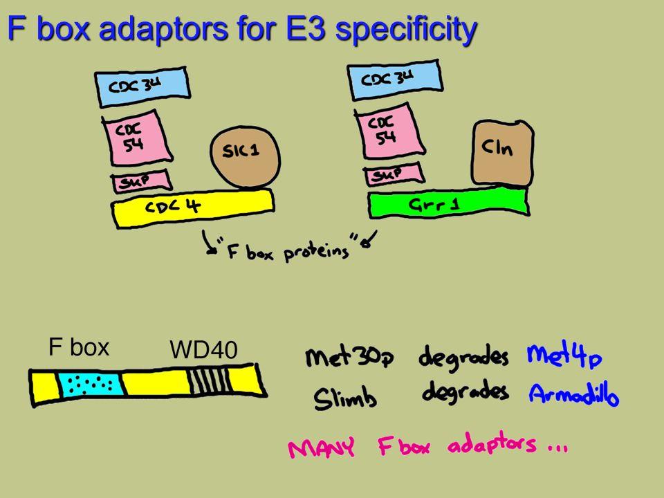 F box adaptors for E3 specificity