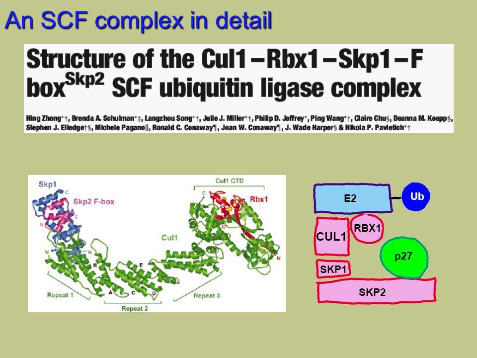 An SCF complex in detail CUL1 SKP1 RBX1 SKP2 p27 E2 Ub