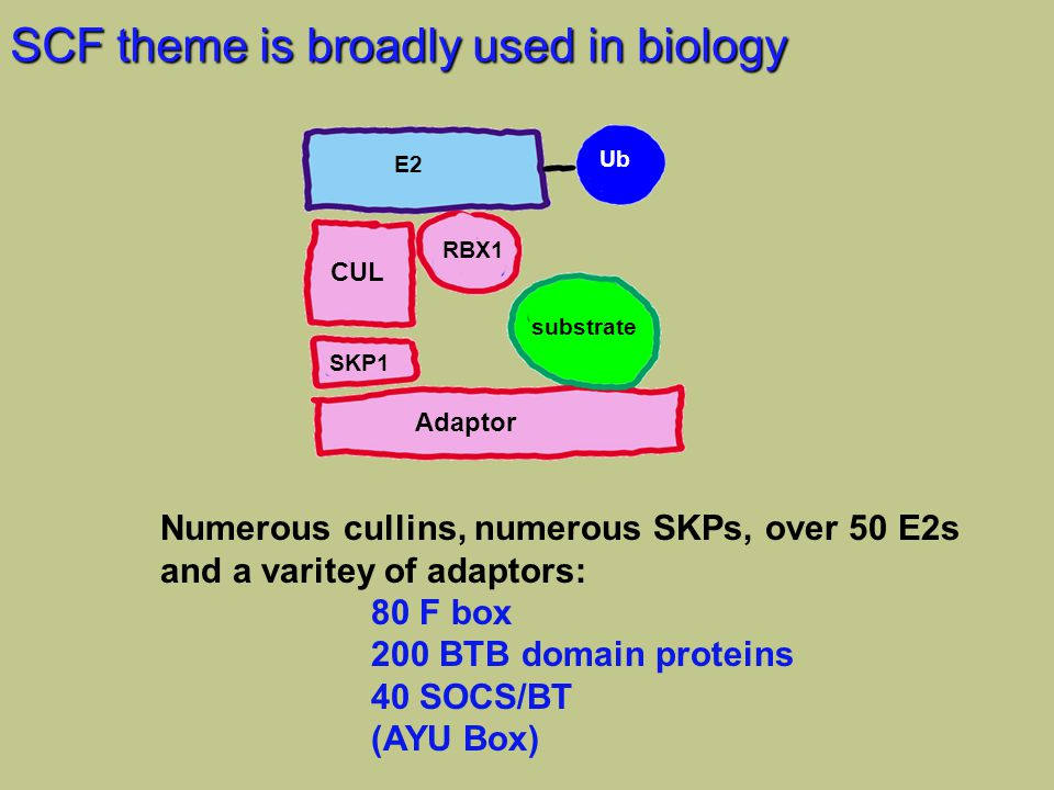 SCF theme is broadly used in biology CUL SKP1 RBX1 Adaptor substrate E2 Ub Numerous cullins, numerous SKPs, over 50 E2s and a varitey of adaptors: 80