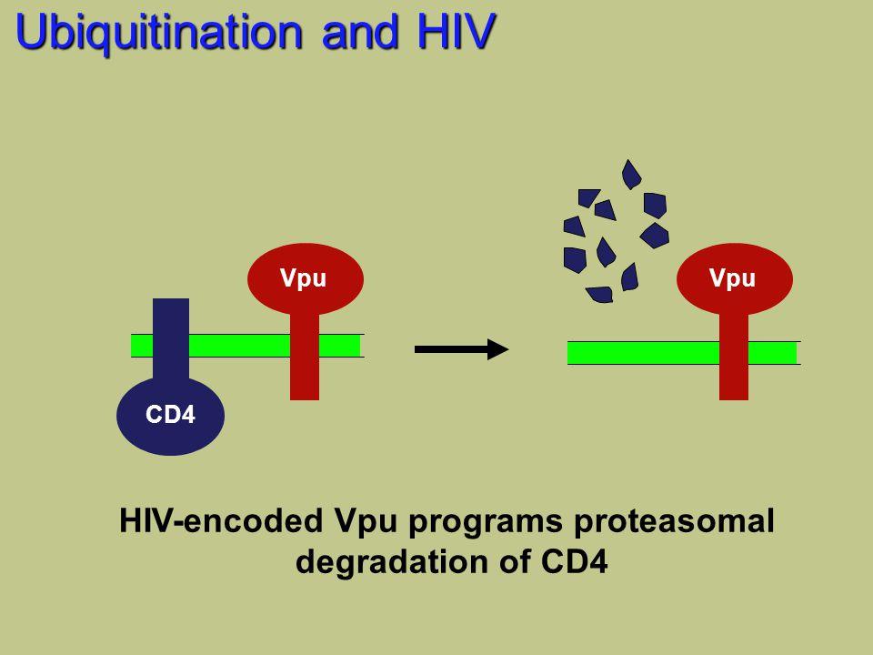 Ubiquitination and HIV Vpu CD4 Vpu HIV-encoded Vpu programs proteasomal degradation of CD4