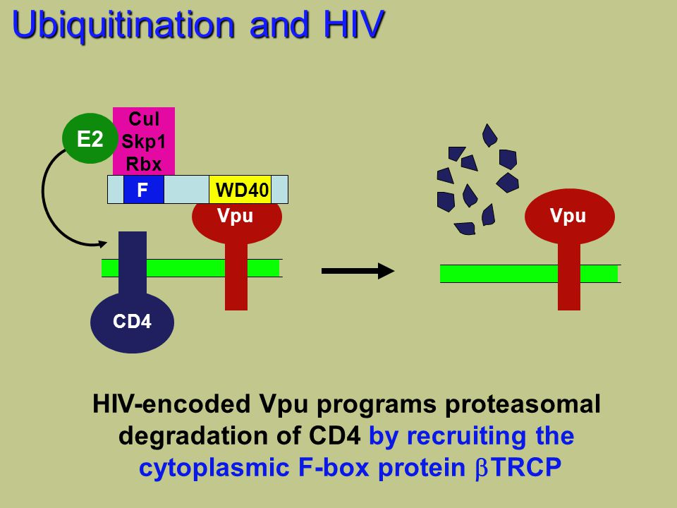 CD4 Vpu FWD40 Cul Skp1 Rbx E2 Vpu HIV-encoded Vpu programs proteasomal degradation of CD4 by recruiting the cytoplasmic F-box protein  TRCP Ubiquitination and HIV