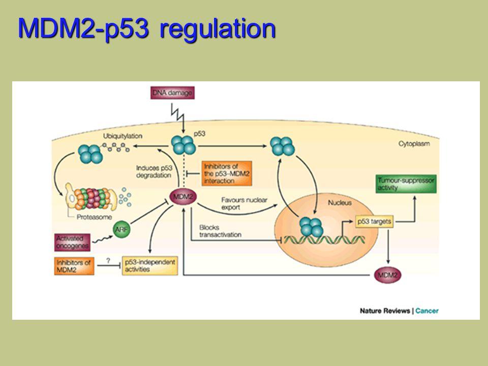MDM2-p53 regulation