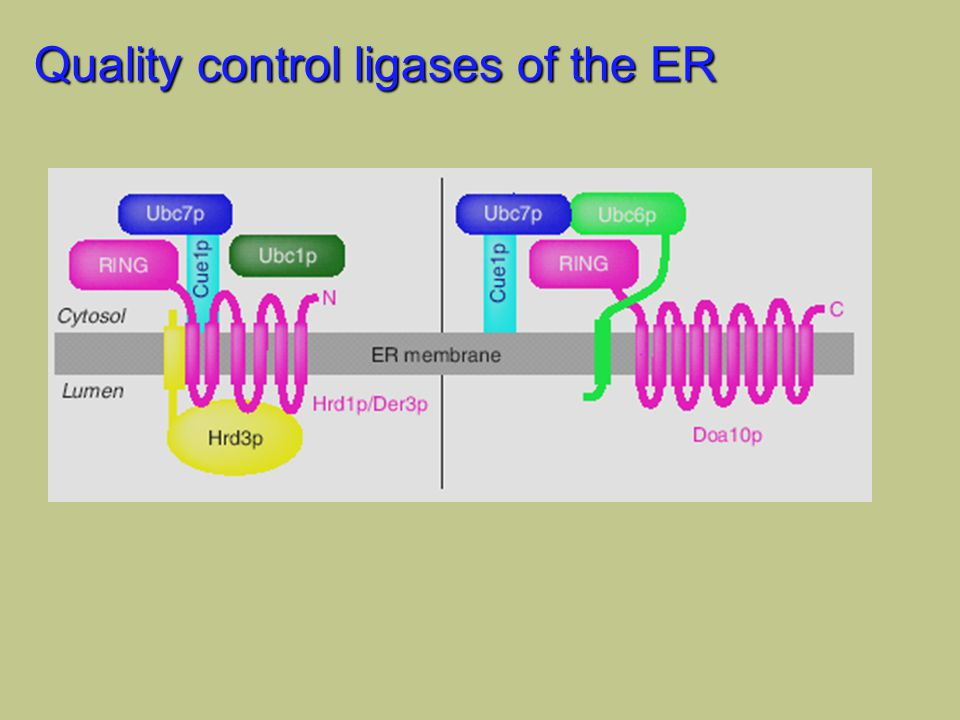 Quality control ligases of the ER
