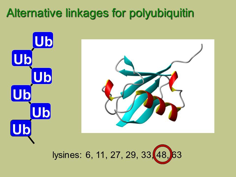 lysines: 6, 11, 27, 29, 33, 48, 63 Ub Alternative linkages for polyubiquitin