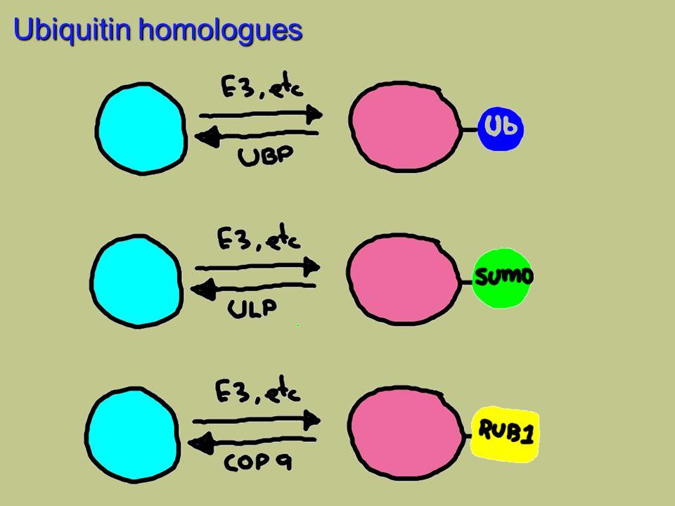 Ubiquitin homologues