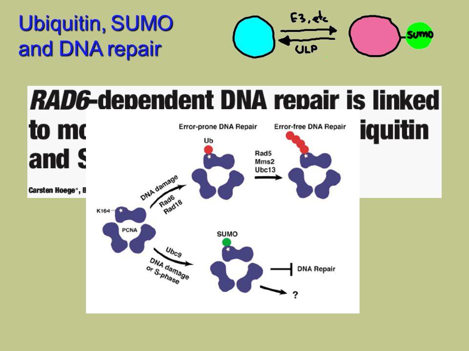 Ubiquitin, SUMO and DNA repair